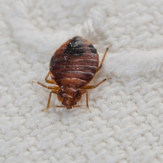 Bed Bugs, Pest Control in Hillingdon, Ickenham, UB10. Call Now! 020 8166 9746