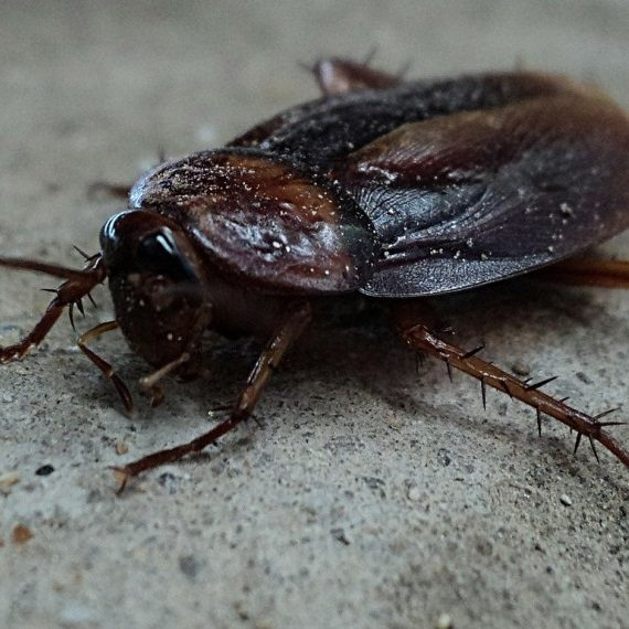 Cockroaches, Pest Control in Hillingdon, Ickenham, UB10. Call Now! 020 8166 9746
