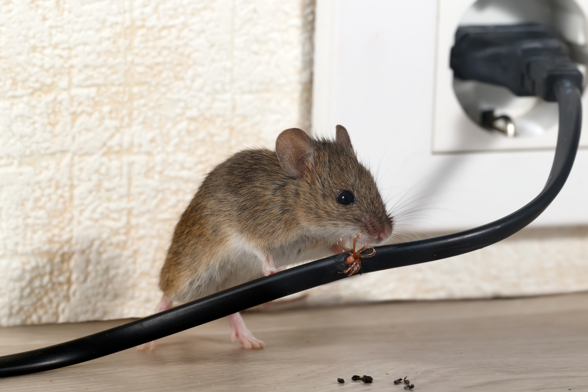 Mice Infestation, Pest Control in Hillingdon, Ickenham, UB10. Call Now 020 8166 9746