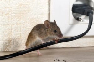 Mice Control, Pest Control in Hillingdon, Ickenham, UB10. Call Now 020 8166 9746